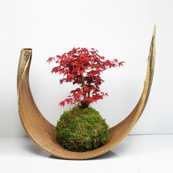 Kokedama z klonem japońskim w formie bonsai