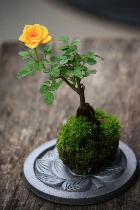 Kokedama z różą