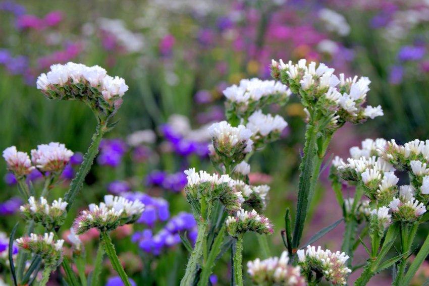 Najpiekniejsze Jednoroczne Kwiaty Poznaj Najlepsze Gatunki Ogrodolandia Pl