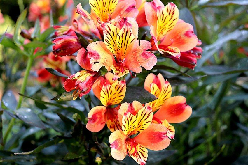Letnie Kwiaty Cebulowe Ogrodolandia Pl